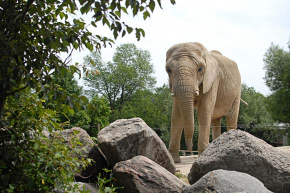 Elephant at the Toronto Zoo.