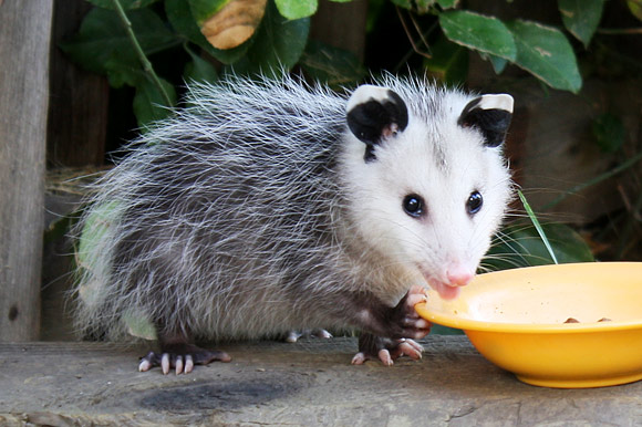 Look Who S Come To Town Toronto S New Opossum Posse