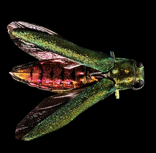 Despite its beautiful colouring, the emerald ash borer has been devastating to the region's ash canopy.